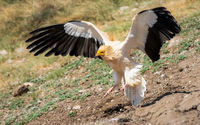 Raipekotkas (Neophron percnopterus), teised raipetoidelised linnud ja suured herbivoorsed imetajad on suure tõenäosusega 100 aasta pärast välja surnud.