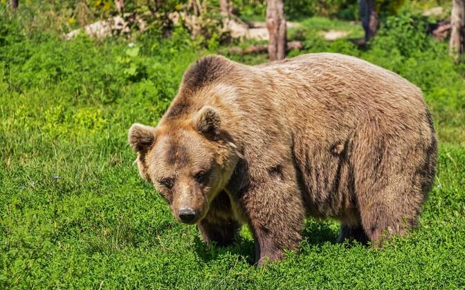 По всей видимости, медведи перебрались к кладбищу Раади из-за учений