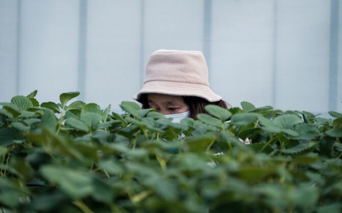 Maasikafarm Iwaki linnas Fukushima prefektuuris.
