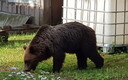 Медведи в Валга.