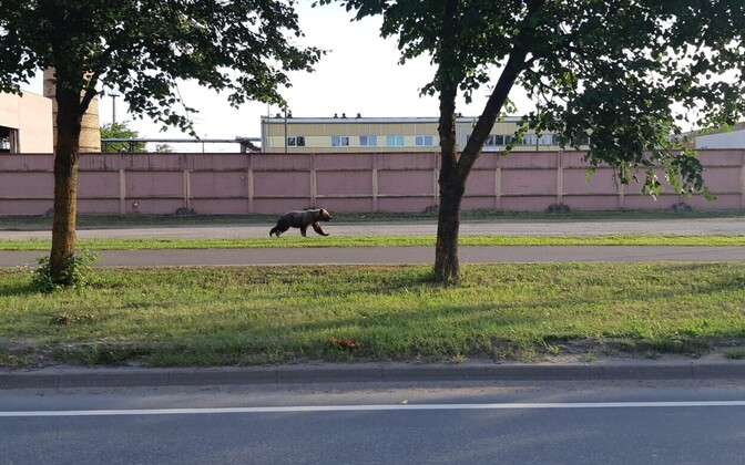 A bear roaming the outskirts of Valga. Young animals have recently been forced closer to villages and towns.
