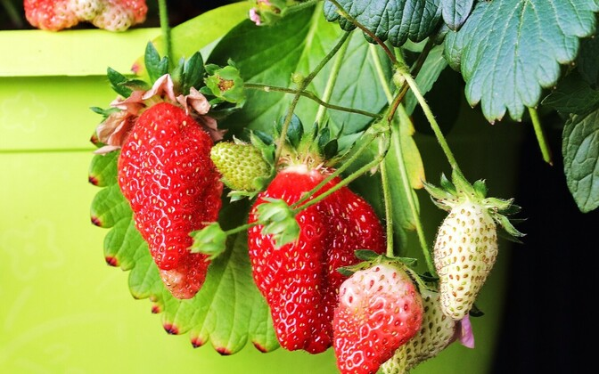 Strawberries (picture is illustrative).
