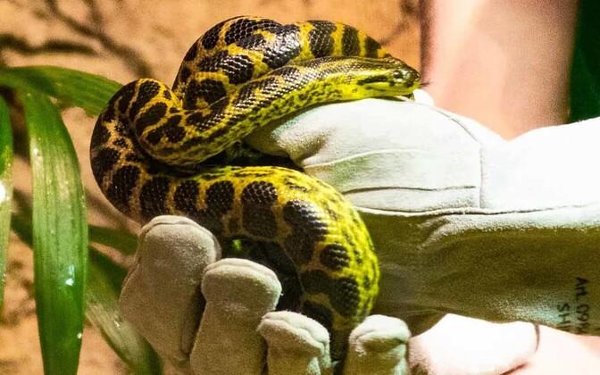 Змееныша не могли найти две недели.