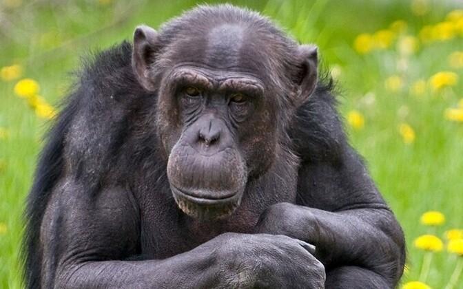 Шимпанзе Пино.