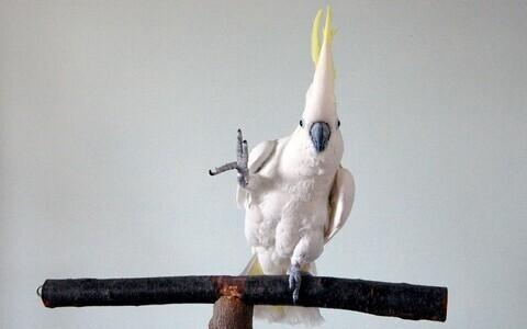 Papagoi Snowball ehk Lumepall.