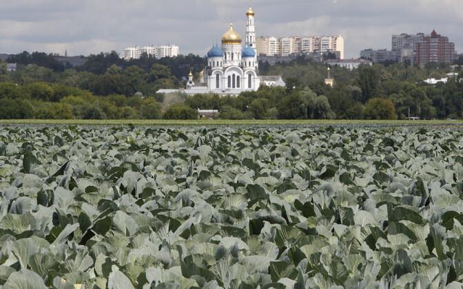 Kapsapõld Lenini-nimelises riigifarmis Moskva lähistel.