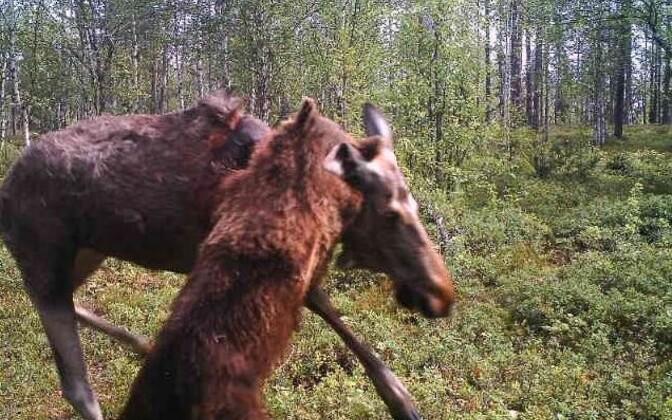 Karu Kainuu lähistel metsas põtra murdmas.