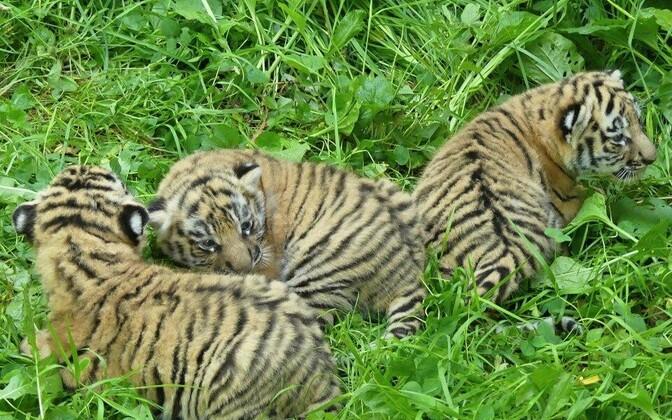 Родившиеся в Чехии тигрята от амурского тигра Боцмана из Таллиннского зоопарка.