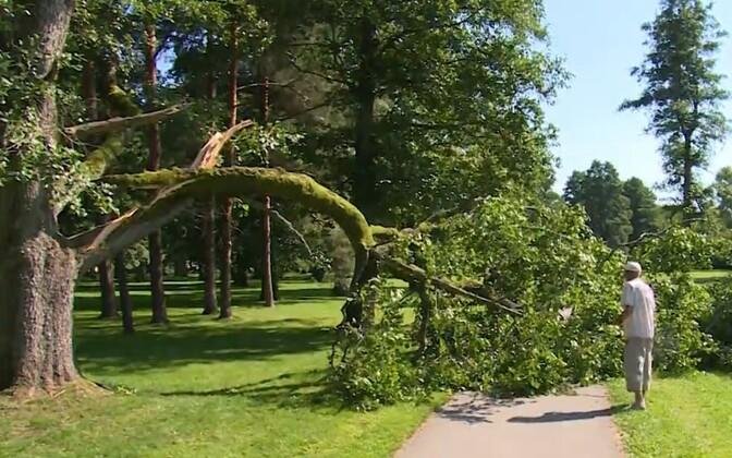 Упавшая ветвь дерева в парке в Пярну.