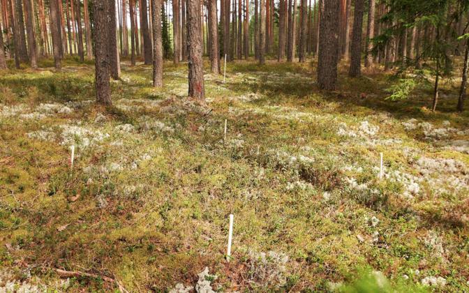 К примеру, бореальный тип леса был представлен в исследовании сосновыми лесами. Отмеченная территория была исследована с особой тщательностью.