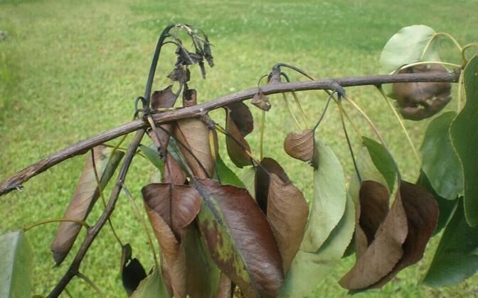 Растение, зараженное бактерией Erwinia amylovora.