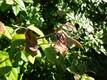 Viljapuu-bakterpõletikuga kahjustatud puu