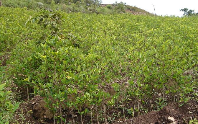 Большая часть производимого в Колумбии кокаина поступает на рынок США.