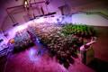 Eurosertifitseeritud kanepi kasvandus Kalamajas
