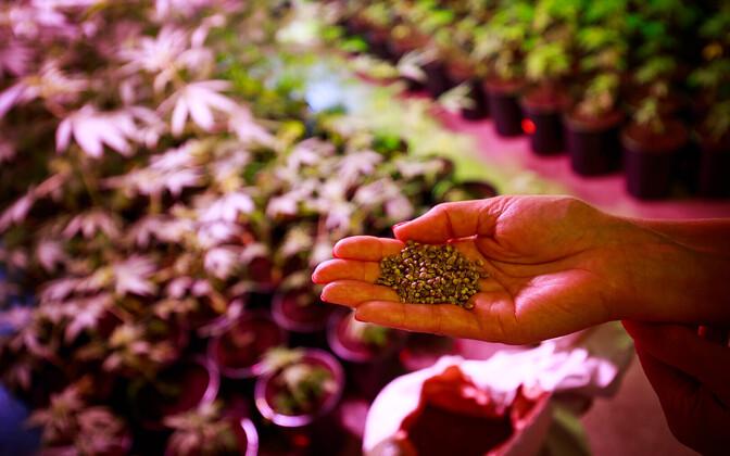 A cannabis farm.