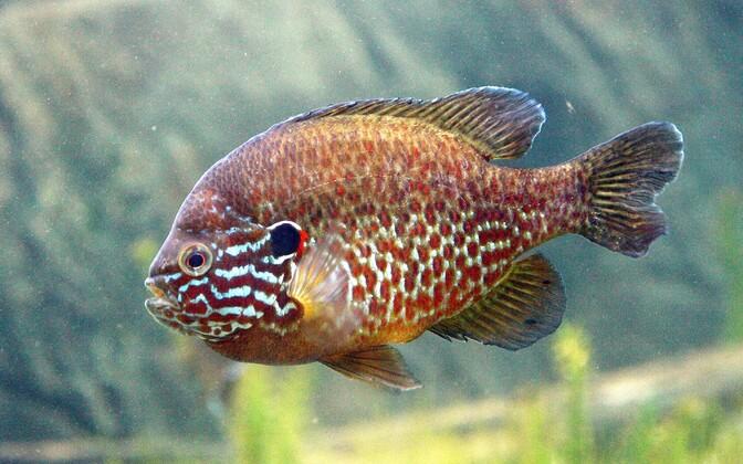 В список запрещенных видов также попала обыкновенная солнечная рыба.