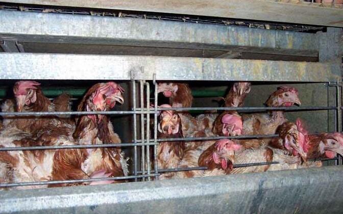 Battery hens.