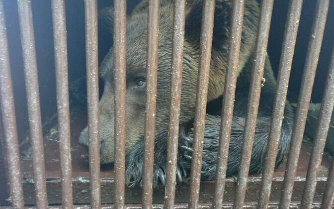 Prosha in temporary accommodation at Tallinn Zoo.