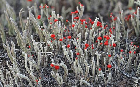 Kõhetu porosamblik (Cladonia macilenta), mida iseloomustavad kuni 3 cm kõrgused pulkjad tallused, mis on kaetud peenjahuja puruga; pulkade tipus on silmatorkavad punased viljakehad. See samblik on Eestis väga sage, teda tasub otsida näiteks männimetsadest