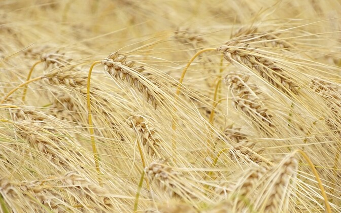 Wheat. Photo is illustrative.