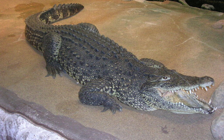 Kuuba krokodill Skanseni akvaariumis (milline neist, pole teada).