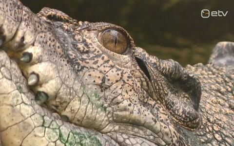 Krokodill Vanamees