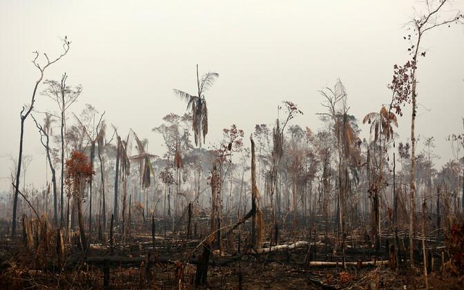 Amazonase džungel Boca do Acres pärast põlengut.