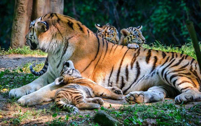 Тигрята амурского тигра Боцмана в чешском зоопарке.