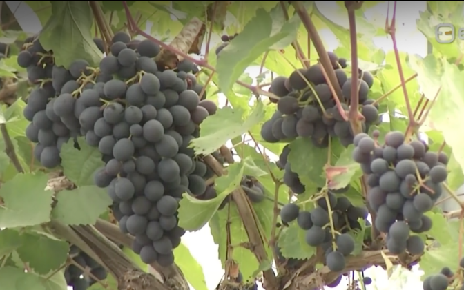Grapes grown in the greenhouses at Saare-Tõrvaaugu aiand OÜ in 2019.
