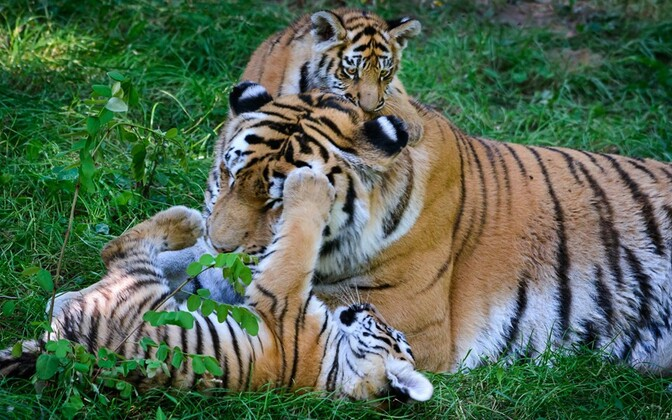 Тигрята в зоопарке города Злин.
