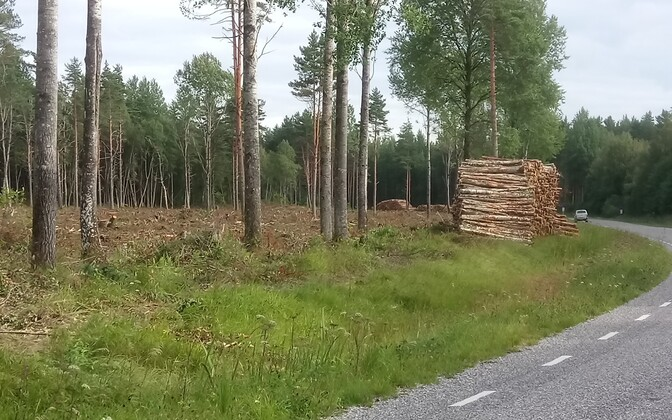 Молодой лес в Васкнарве посадят в 2021 году.