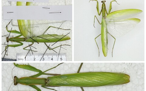 Ученые провели анализ ДНК, чтобы выяснить, откуда точно насекомое появилось в Эстонии.