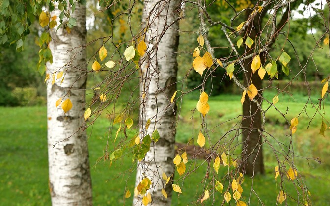 Birch trees in fall.