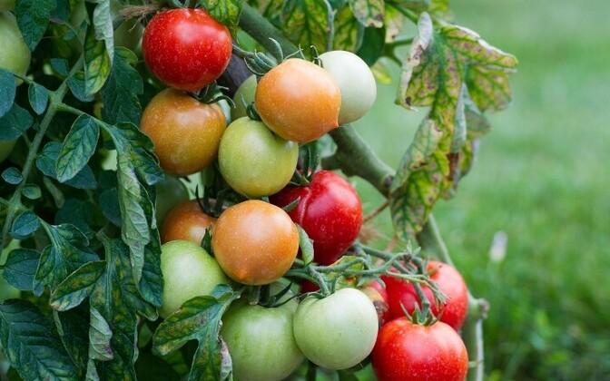 На выставке расскажут о тонкостях выращивания помидоров. Иллюстративная фотография.