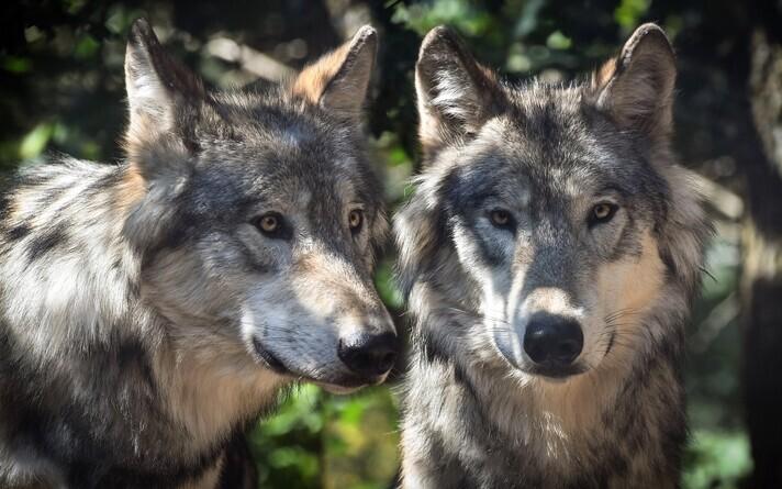 Скрещивание волков и собак в Финляндии запрещено. Иллюстративная фотография.