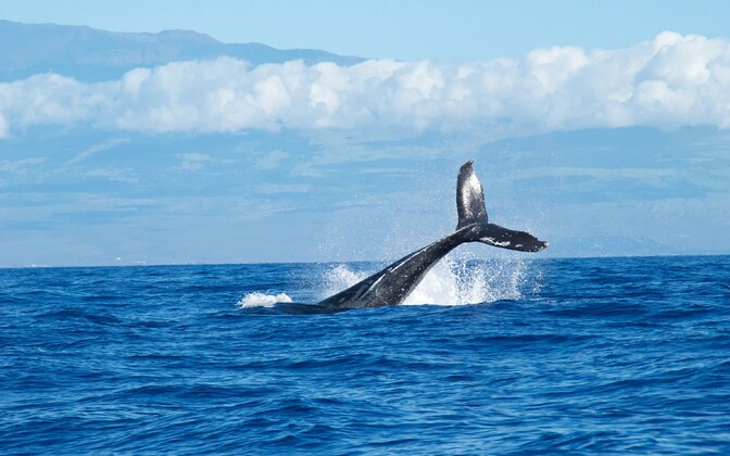 Vaalaliste seas olid suurajukoor ja väikeaju eriti suured tihtilugu neil liikidel, kes toituvad kõige mitmekülgsemalt.