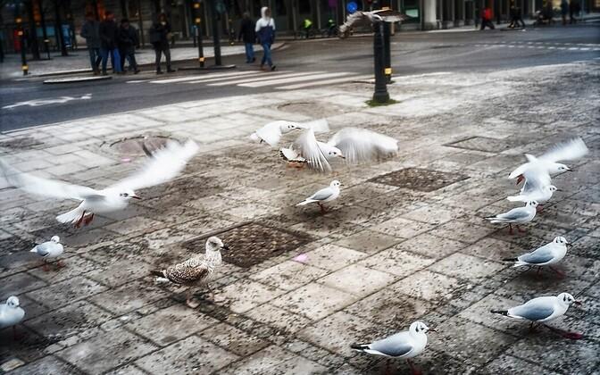 Kuigi linnas on kisklusoht väiksem, on linnud linnas valvsamad kui maal.