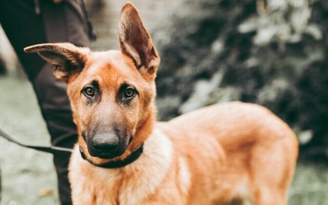 Полицейский пес Альфа.