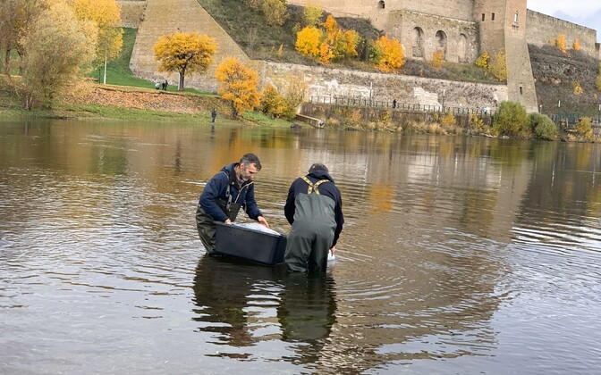 5000 sturgeons were introduced into the Narva River