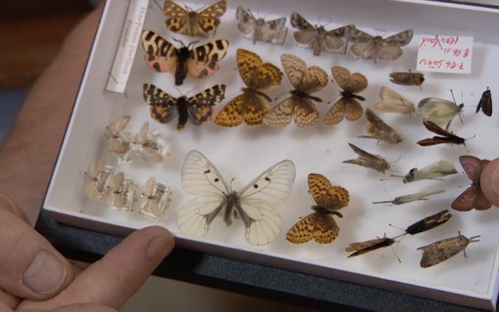 Nende pikkade aastate jooksul on Teet suutnud enda püütud liblikatest kokku panna pea täiusliku Eesti suurliblikate kogu – 1000 isendit.