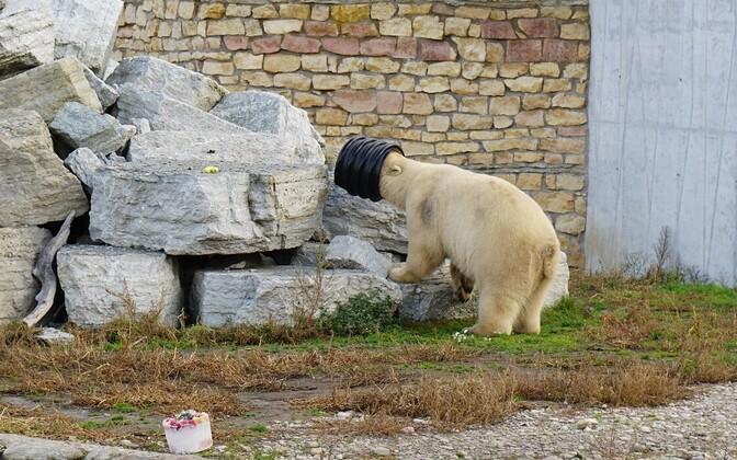 Jääkaru Aron