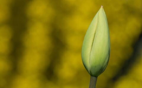 Tulbipung kevadel.