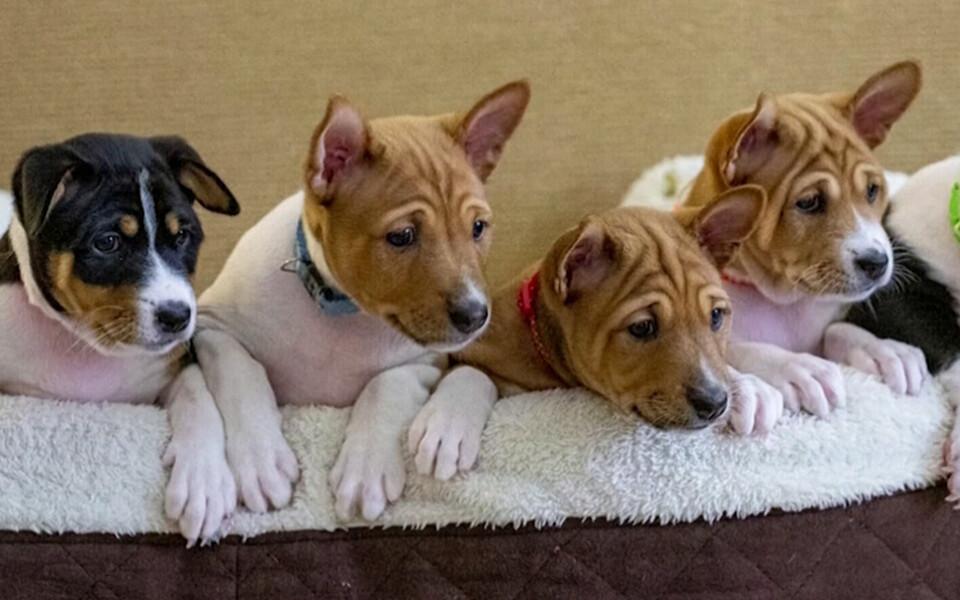 Щенки королевской собаки.