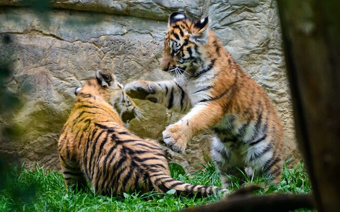 Тигрята родились в начале июня.