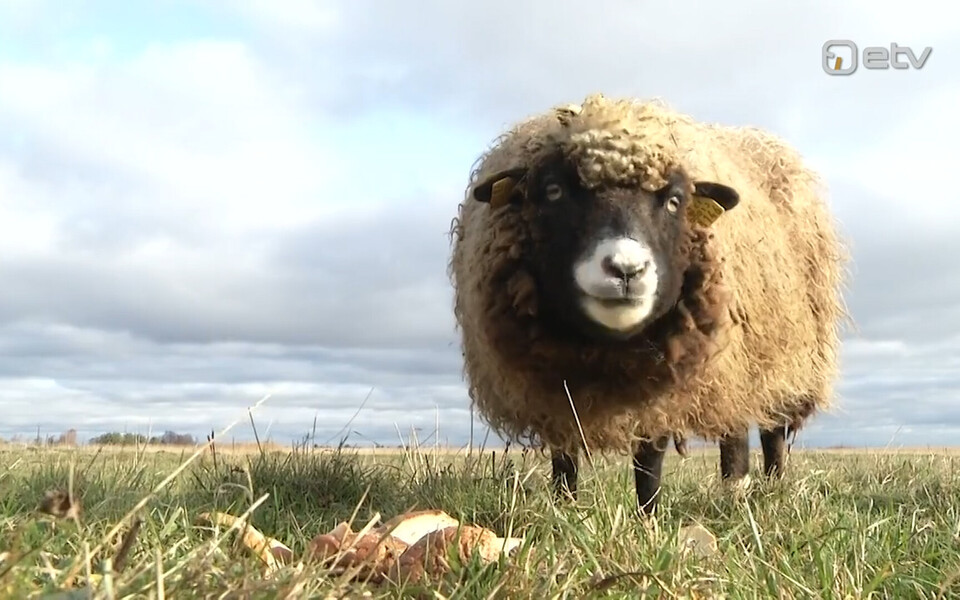 Manija lambad