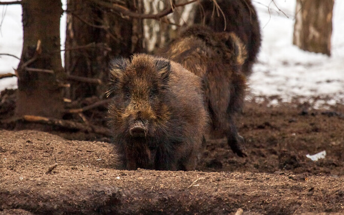 Wild boar in Estonia.