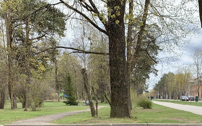 В Силламяэ посадят несколько сотен деревьев.