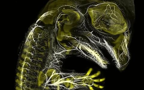 3. koht. Alligaatori embrüo selgroo ja närvisüsteemi tekkimise ajal, (10X suurendus).