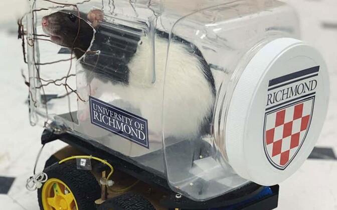 Autot juhtima õppinud rottidel ei paranenud mitte ainult meeleolu, vaid ka nutikusülesannete lahendamise võime.