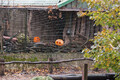 Pumpkin party at Tallinn Zoo.